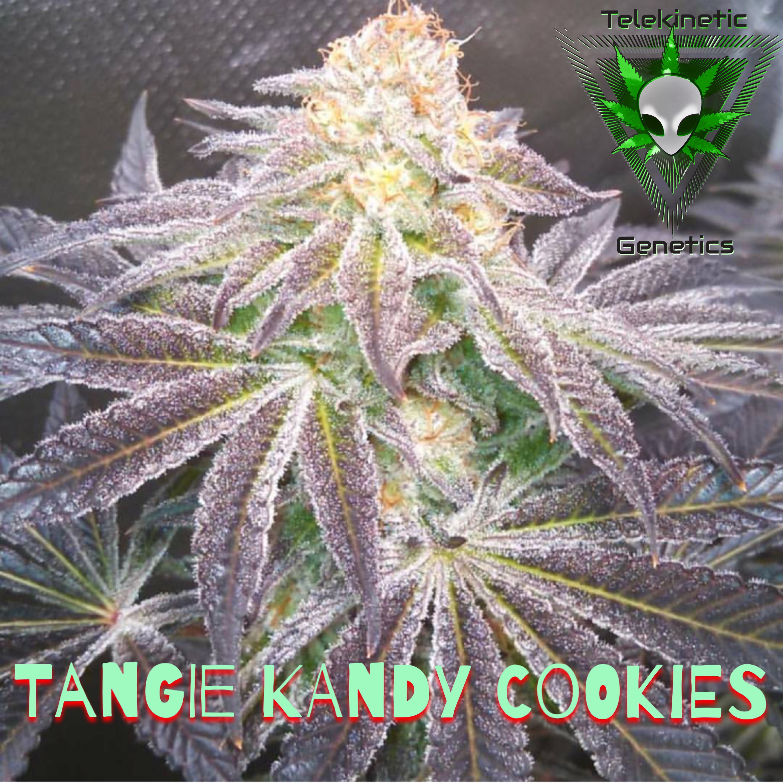 Buds Auto Sales >> TELEKINETIC GENETICS - Tangie Kandy Cookies (12R) - Oregon ...